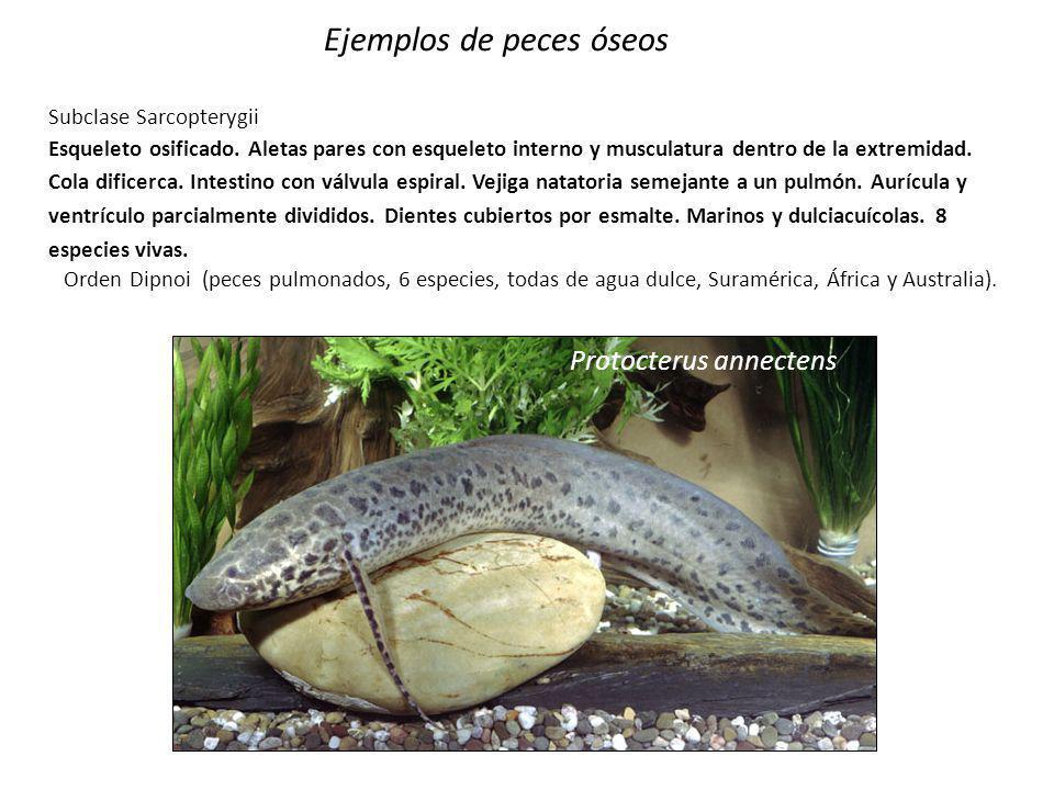 Orthopristis ruber Ejemplos de peces óseos Subclase Actinopterygii Infra clase Actinopteri Superdivisión Neopterygii División Halecostomi Subdivisión Teleostei (teleósteos) Distribución mundial.