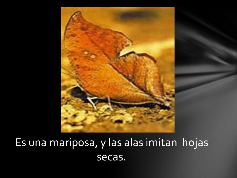 Es una mariposa, y las alas imitan hojas secas.
