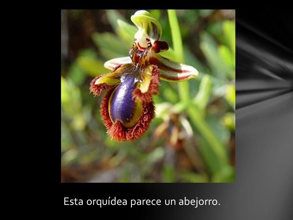 Esta orquídea parece un abejorro.