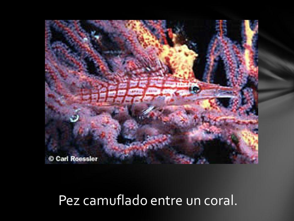 Pez camuflado entre un coral.