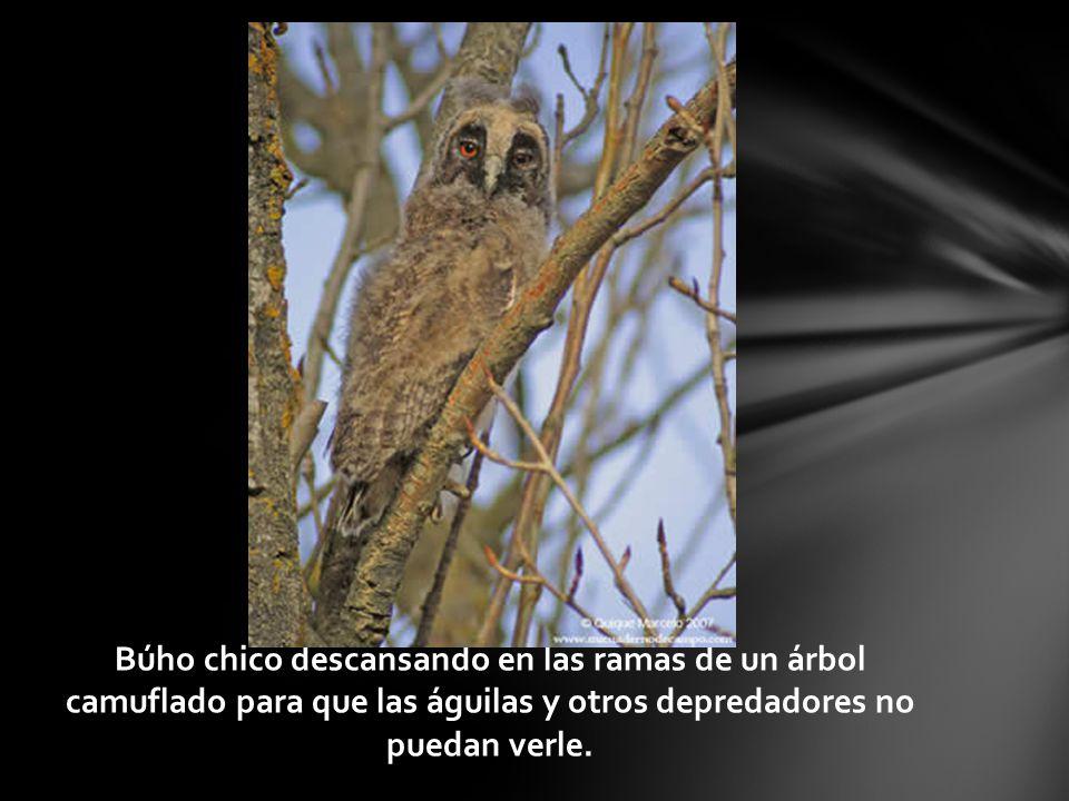 Búho chico descansando en las ramas de un árbol camuflado para que las águilas y otros depredadores no puedan verle.