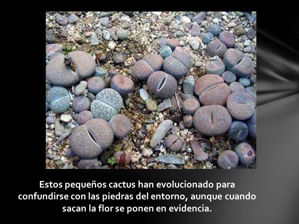 Estos pequeños cactus han evolucionado para confundirse con las piedras del entorno, aunque cuando sacan la flor se ponen en evidencia.