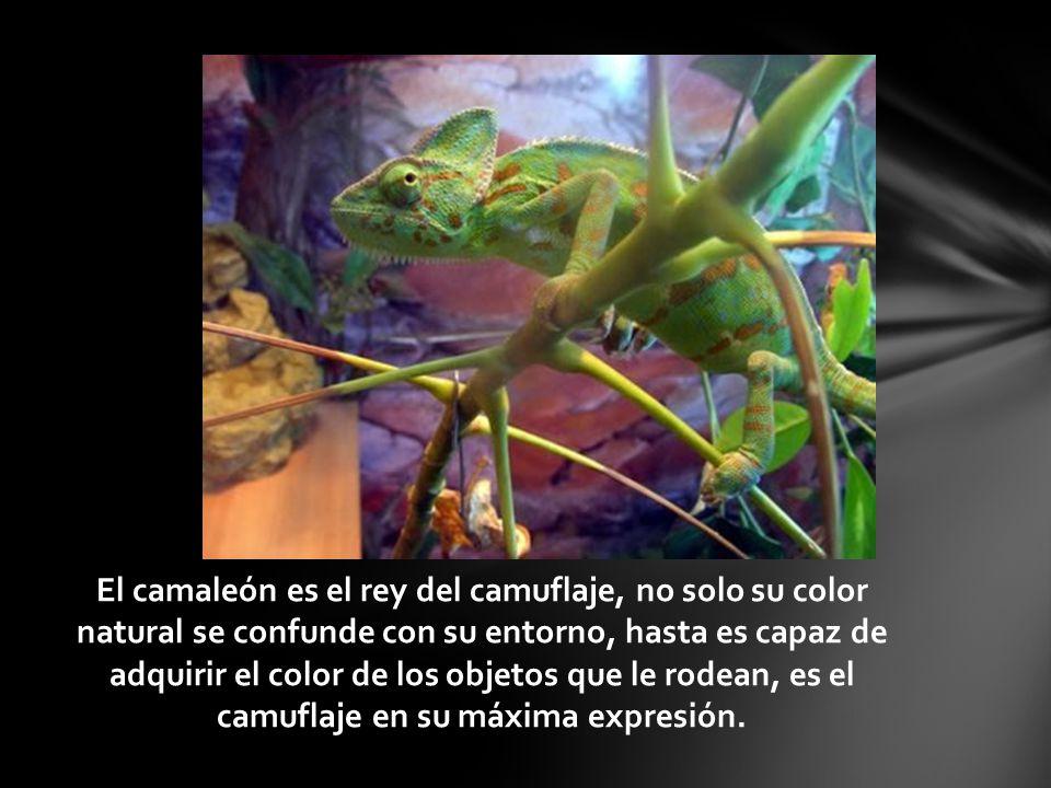 El camaleón es el rey del camuflaje, no solo su color natural se confunde con su entorno, hasta es capaz de adquirir el color de los objetos que le rodean, es el camuflaje en su máxima expresión.