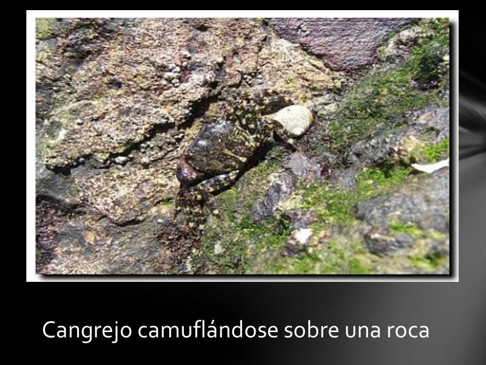 Cangrejo camuflándose sobre una roca