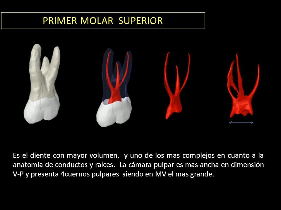 PRIMER MOLAR SUPERIOR Es el diente con mayor volumen, y uno de los mas complejos en cuanto a la anatomía de conductos y raíces.