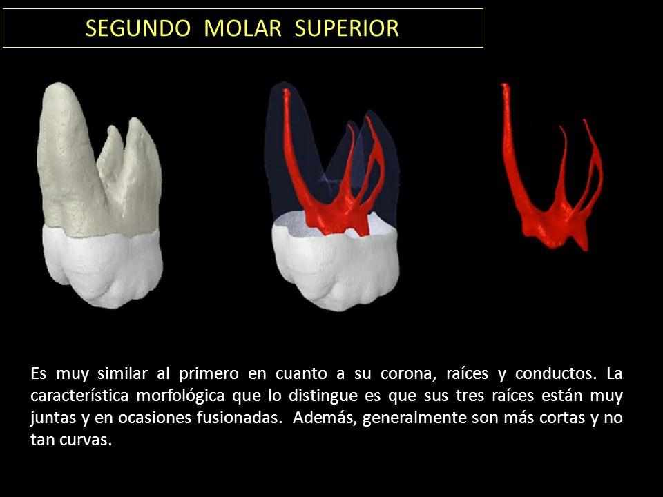 SEGUNDO MOLAR SUPERIOR Es muy similar al primero en cuanto a su corona, raíces y conductos.
