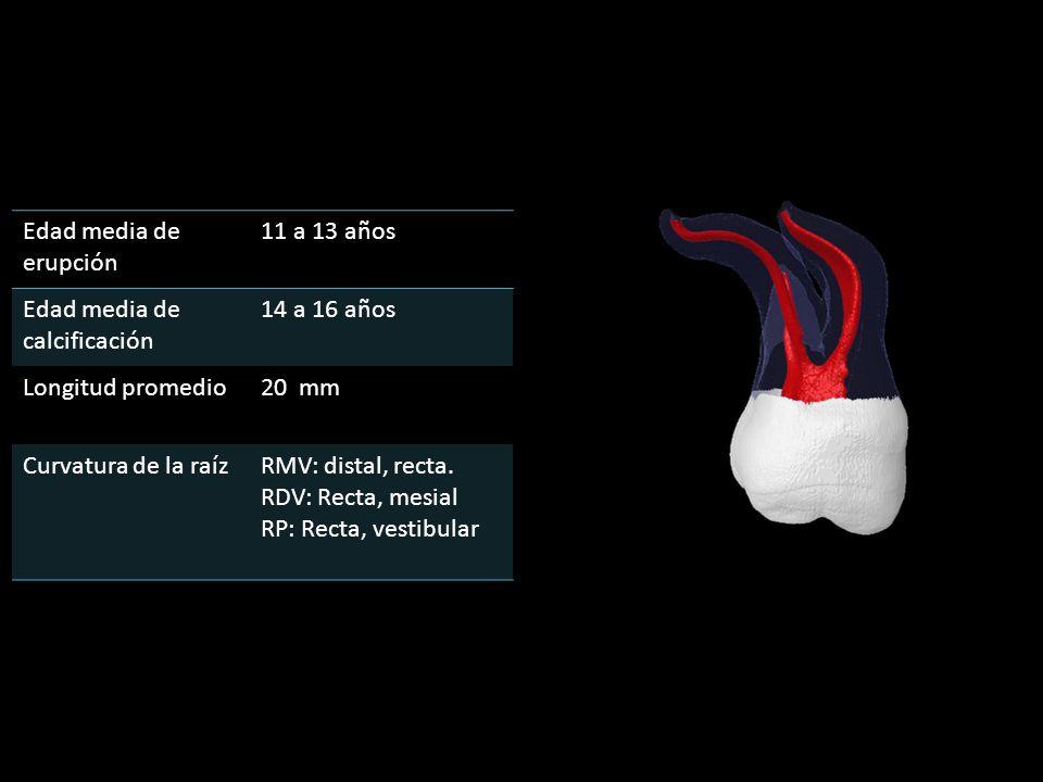 Edad media de erupción 11 a 13 años Edad media de calcificación 14 a 16 años Longitud promedio20 mm Curvatura de la raízRMV: distal, recta.