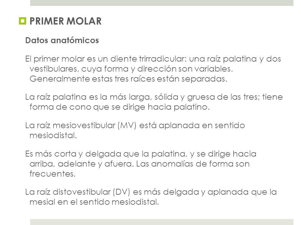 PRIMER MOLAR Datos anatómicos El primer molar es un diente trirradicular: una raíz palatina y dos vestibulares, cuya forma y dirección son variables.