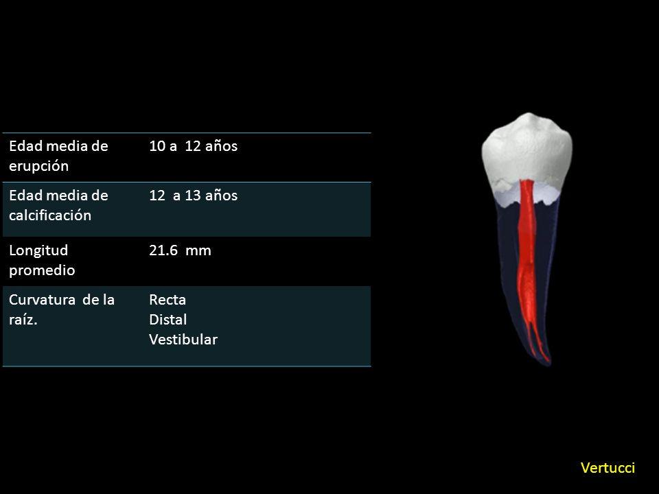 Edad media de erupción 10 a 12 años Edad media de calcificación 12 a 13 años Longitud promedio 21.6 mm Curvatura de la raíz.