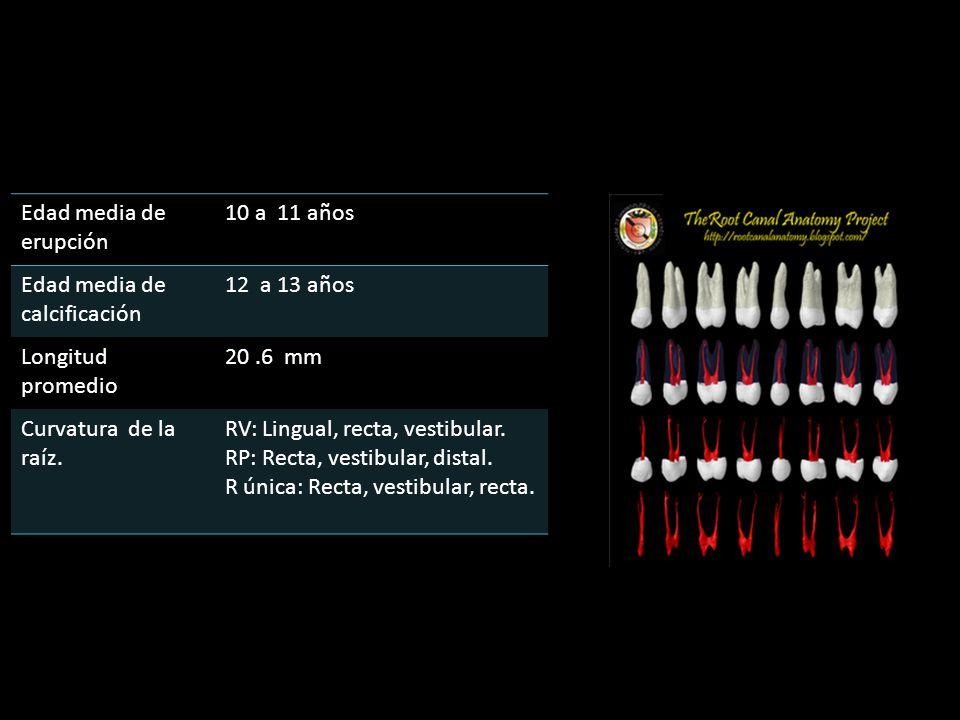 Edad media de erupción 10 a 11 años Edad media de calcificación 12 a 13 años Longitud promedio 20.6 mm Curvatura de la raíz. RV: Lingual, recta, vesti