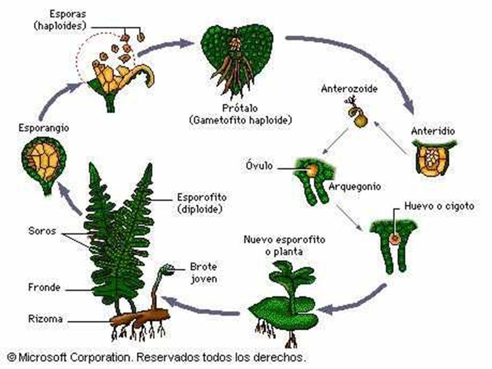 Reproducción en Plantas con Semilla Las espermatofitas, gimnospermas y angiospermas, como todas las plantas, tienen un ciclo haplodiplonte en que la generación dominante es el esporofito diploide (2n).