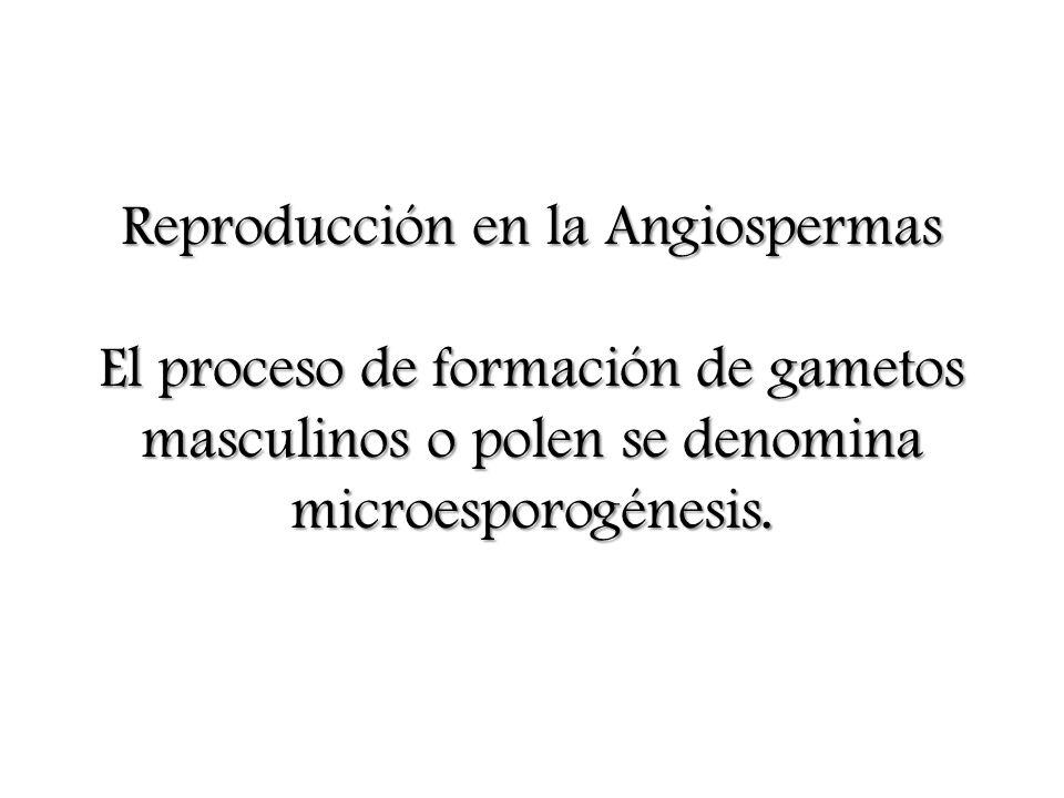 Reproducción en la Angiospermas El proceso de formación de gametos masculinos o polen se denomina microesporogénesis.