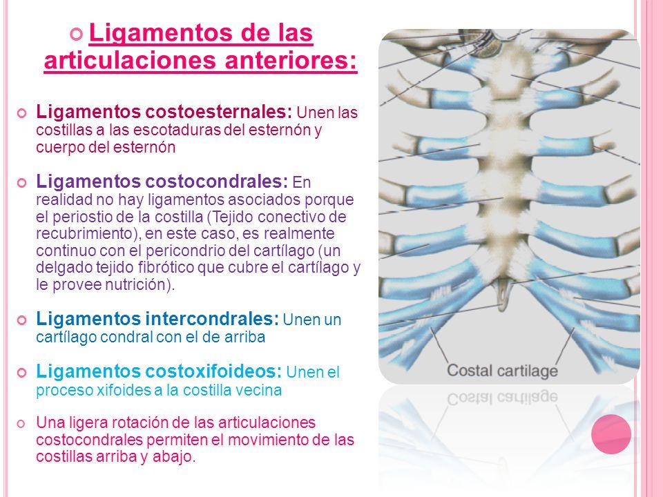 Ligamentos de las articulaciones anteriores: Ligamentos costoesternales: Unen las costillas a las escotaduras del esternón y cuerpo del esternón Ligam
