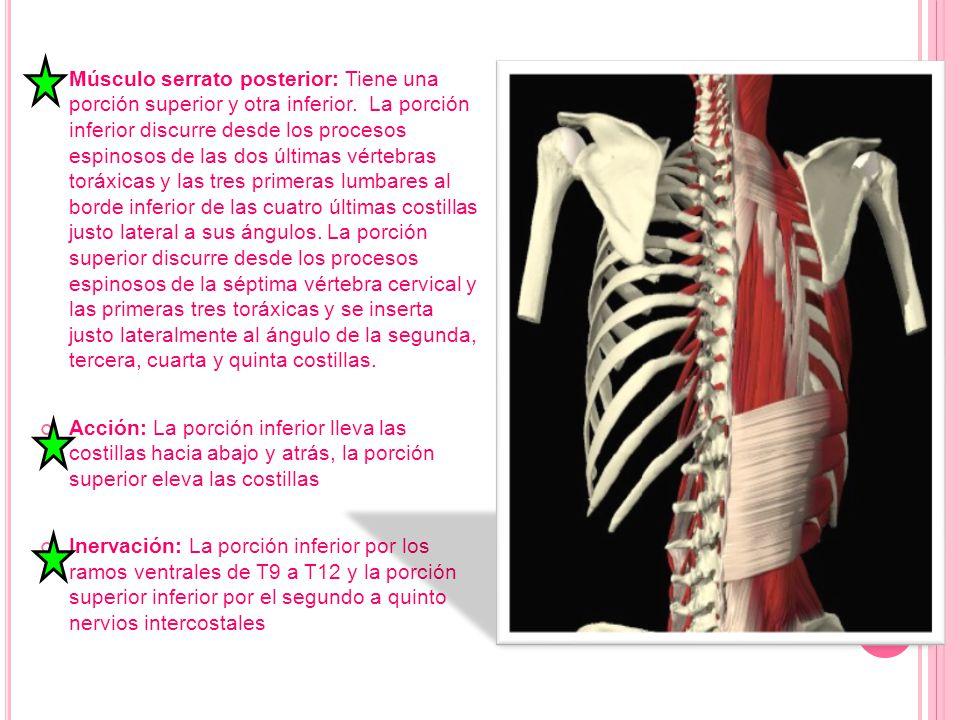 Músculo serrato posterior: Tiene una porción superior y otra inferior. La porción inferior discurre desde los procesos espinosos de las dos últimas vé
