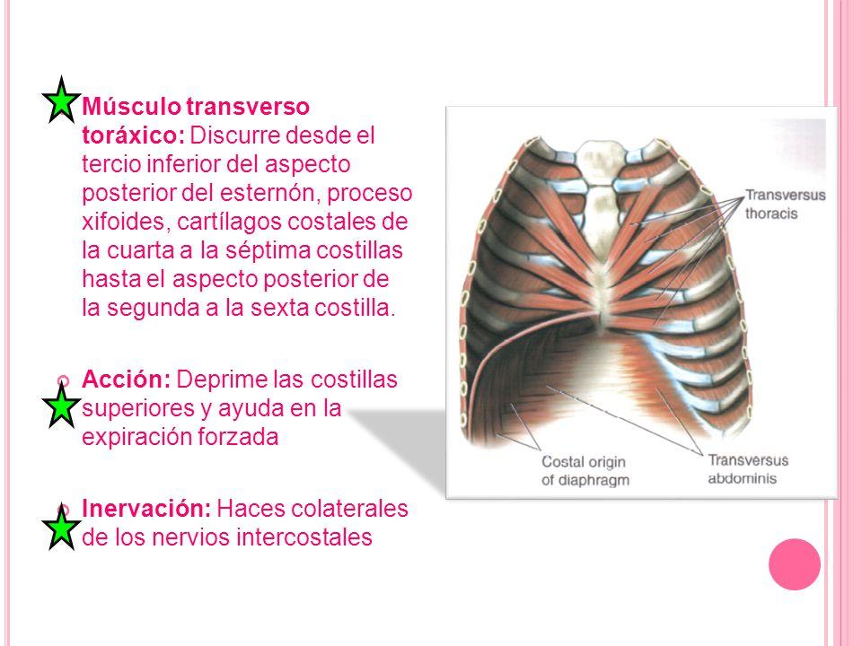 Músculo transverso toráxico: Discurre desde el tercio inferior del aspecto posterior del esternón, proceso xifoides, cartílagos costales de la cuarta