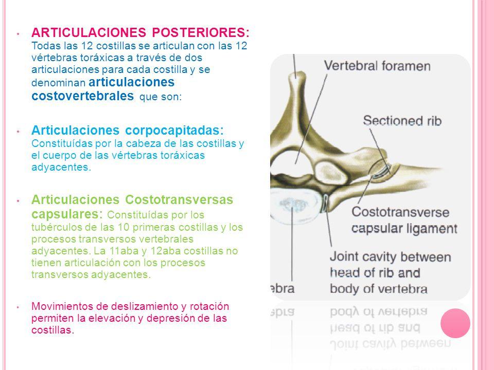 Ligamentos de las articulaciones posteriores: Ligamentos costotransverso capsular: Une la faceta articular de la costilla con el proceso transverso vertebral Ligamento costotransverso: Une externamente la costilla con el proceso transverso correspondiente.