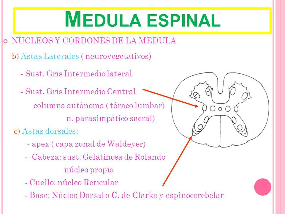 M EDULA ESPINAL NUCLEOS Y CORDONES DE LA MEDULA b) Astas Laterales ( neurovegetativos) - Sust.