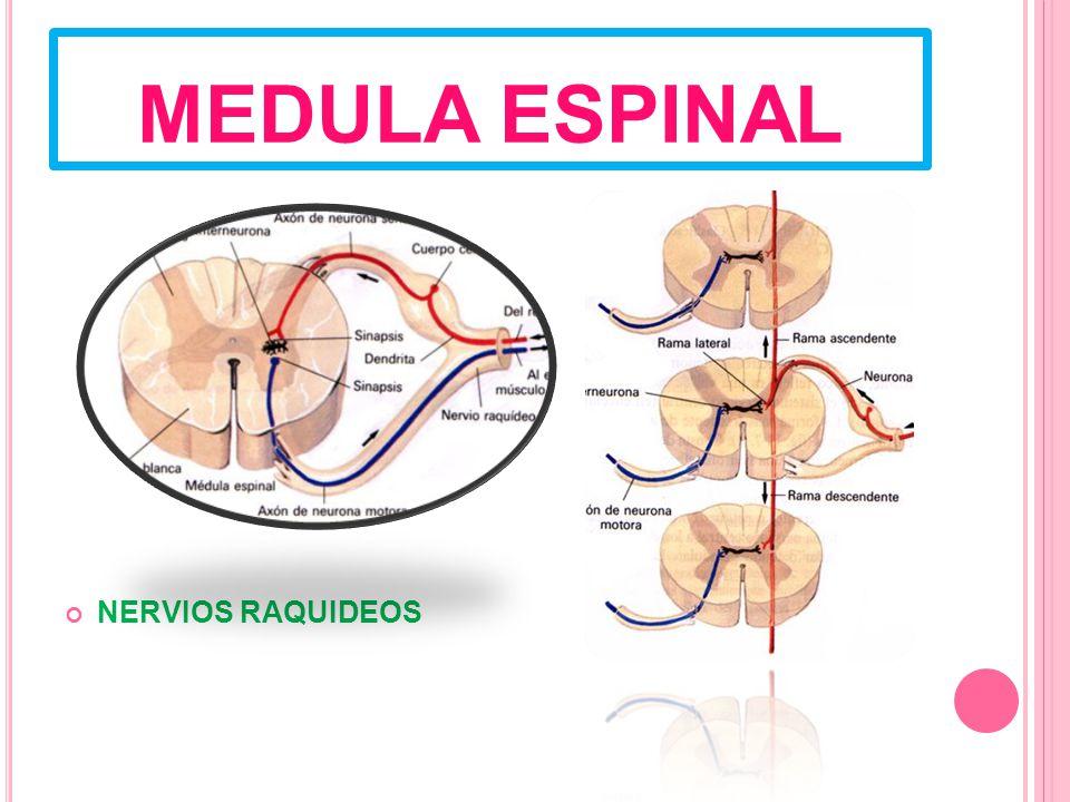 MEDULA ESPINAL NERVIOS RAQUIDEOS