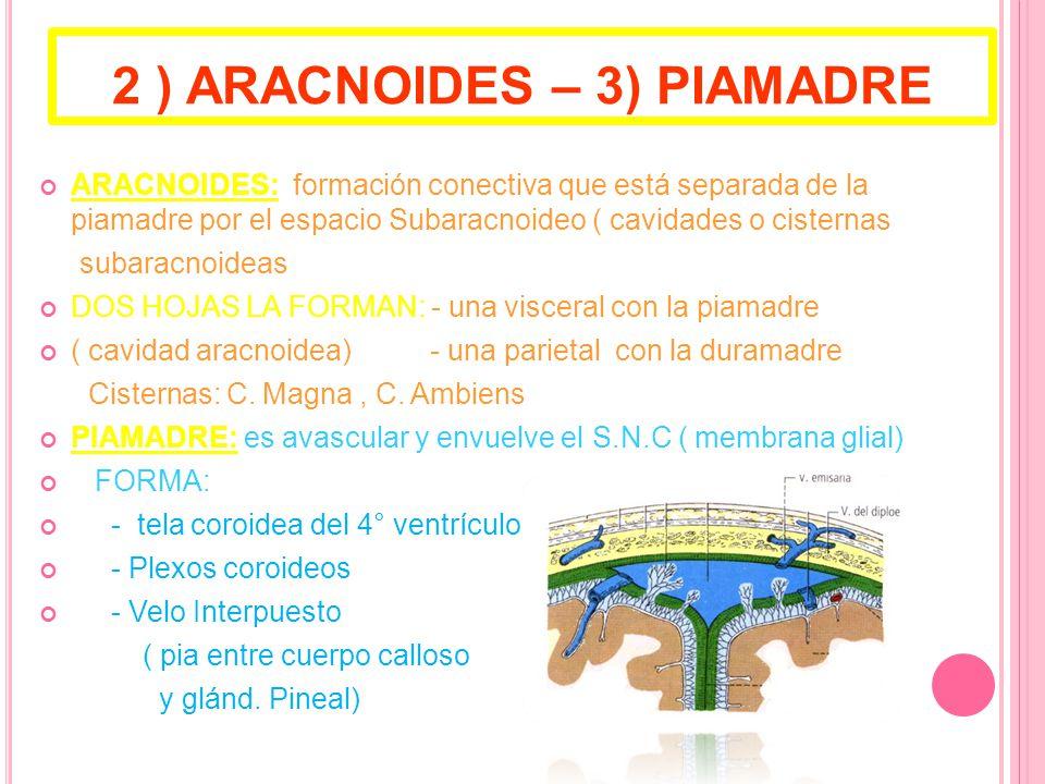 2 ) ARACNOIDES – 3) PIAMADRE ARACNOIDES: formación conectiva que está separada de la piamadre por el espacio Subaracnoideo ( cavidades o cisternas subaracnoideas DOS HOJAS LA FORMAN: - una visceral con la piamadre ( cavidad aracnoidea) - una parietal con la duramadre Cisternas: C.