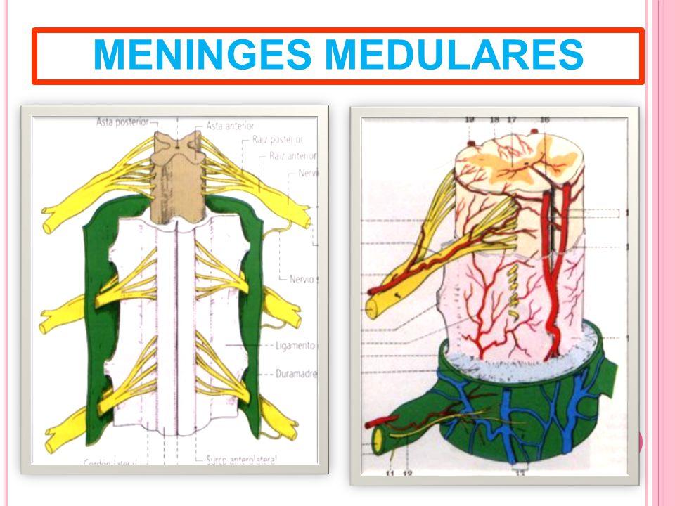 MENINGES MEDULARES