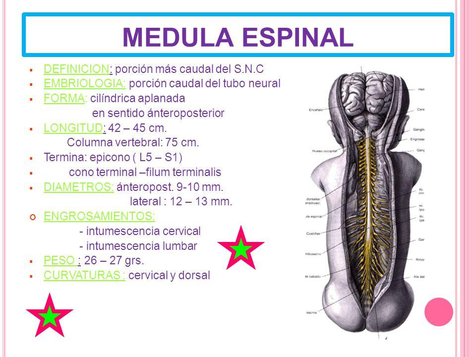 MEDULA ESPINAL DEFINICION: porción más caudal del S.N.C EMBRIOLOGIA: porción caudal del tubo neural FORMA: cilíndrica aplanada en sentido ánteroposterior LONGITUD: 42 – 45 cm.
