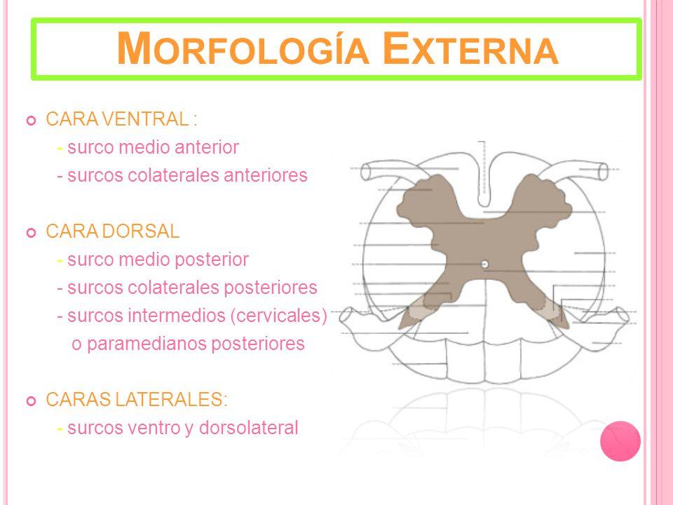 M ORFOLOGÍA E XTERNA CARA VENTRAL : - surco medio anterior - surcos colaterales anteriores CARA DORSAL - surco medio posterior - surcos colaterales posteriores - surcos intermedios (cervicales) o paramedianos posteriores CARAS LATERALES: - surcos ventro y dorsolateral