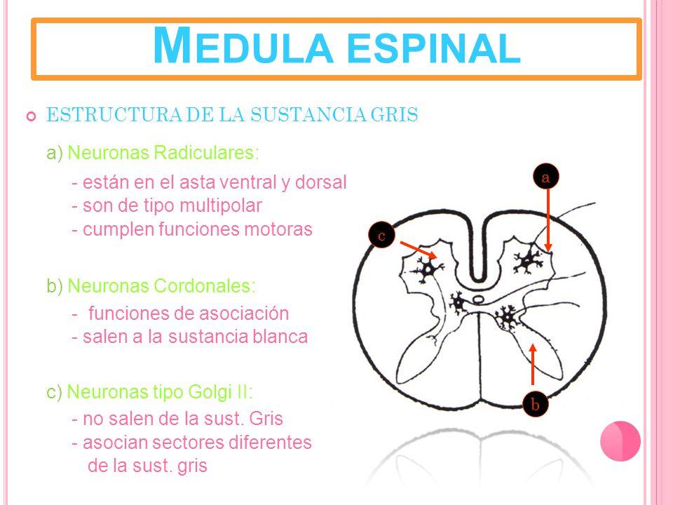 M EDULA ESPINAL ESTRUCTURA DE LA SUSTANCIA GRIS a) Neuronas Radiculares: - están en el asta ventral y dorsal - son de tipo multipolar - cumplen funciones motoras b) Neuronas Cordonales: - funciones de asociación - salen a la sustancia blanca c) Neuronas tipo Golgi II: - no salen de la sust.