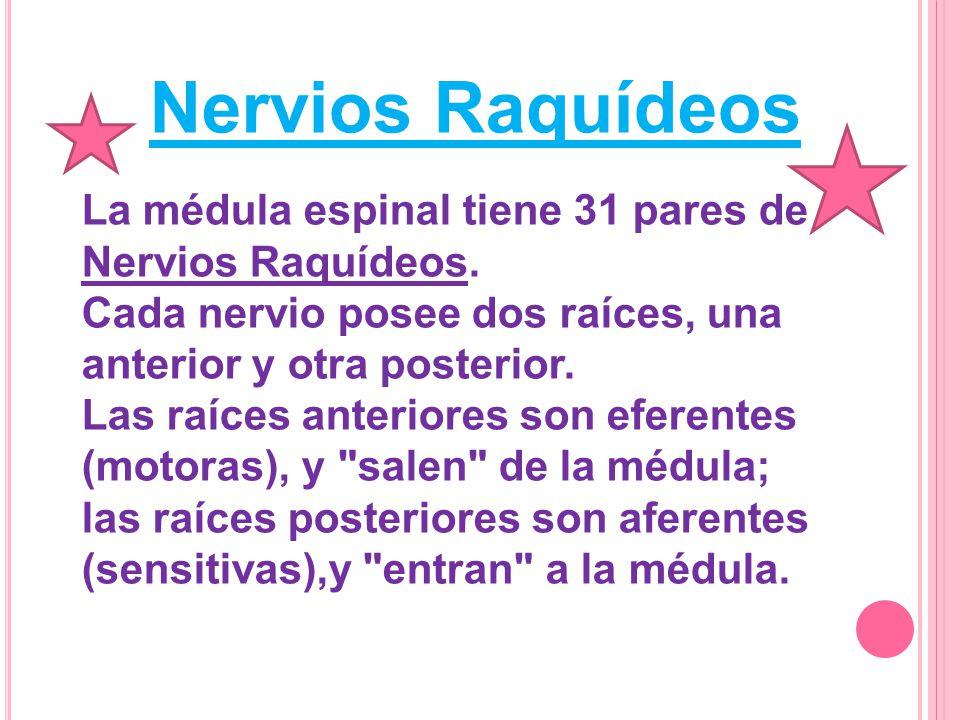 N ERVIOS R AQUÍDEOS : 8 cervicales 12 dorsales 5 lumbares 5 sacros 1 coccígeo Cada nervio raquídeo después de salir por el agujero de conjunción se divide en dos ramas:anterior y posterior