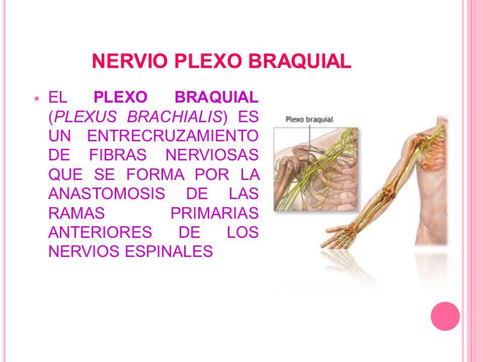 NERVIO PLEXO BRAQUIAL EL PLEXO BRAQUIAL (PLEXUS BRACHIALIS) ES UN ENTRECRUZAMIENTO DE FIBRAS NERVIOSAS QUE SE FORMA POR LA ANASTOMOSIS DE LAS RAMAS PRIMARIAS ANTERIORES DE LOS NERVIOS ESPINALES