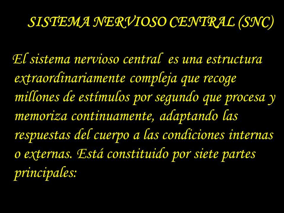 SISTEMA NERVIOSO CENTRAL (SNC) El sistema nervioso central es una estructura extraordinariamente compleja que recoge millones de estímulos por segundo