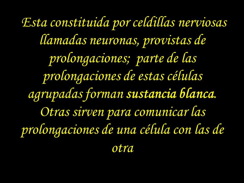 Esta constituida por celdillas nerviosas llamadas neuronas, provistas de prolongaciones; parte de las prolongaciones de estas células agrupadas forman