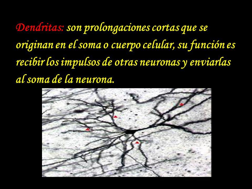 Dendritas: son prolongaciones cortas que se originan en el soma o cuerpo celular, su función es recibir los impulsos de otras neuronas y enviarlas al