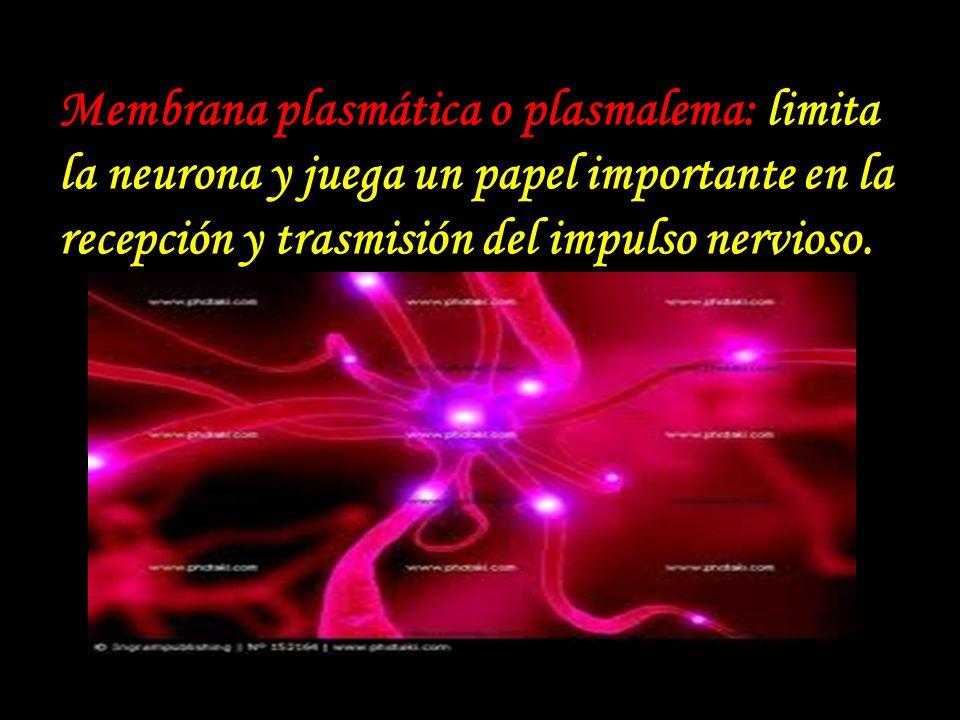 Membrana plasmática o plasmalema: limita la neurona y juega un papel importante en la recepción y trasmisión del impulso nervioso.