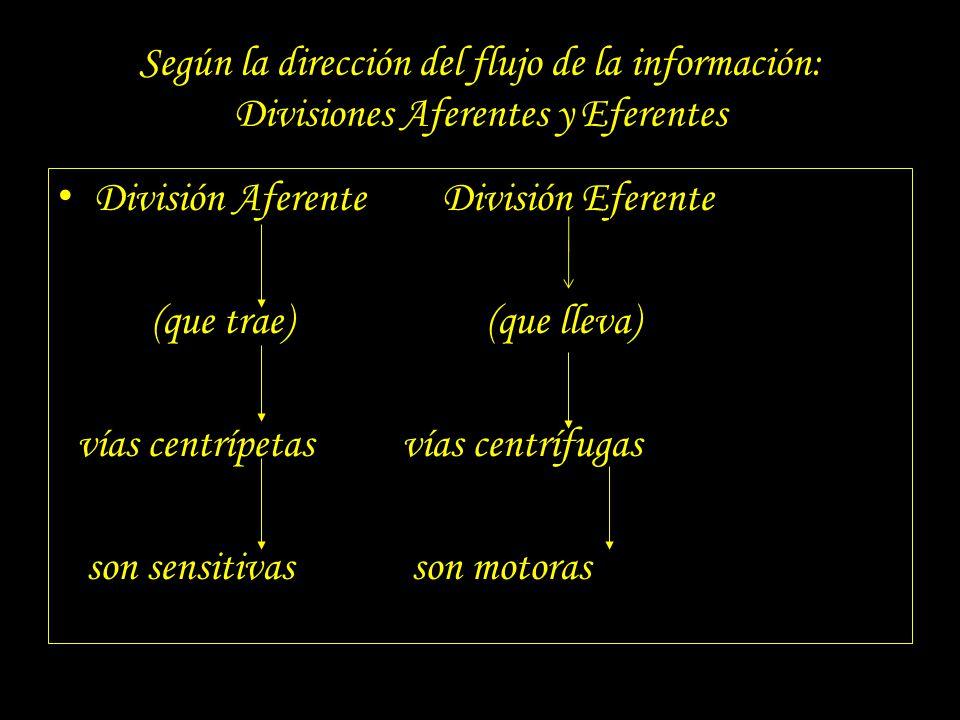 Según la dirección del flujo de la información: Divisiones Aferentes y Eferentes División AferenteDivisión Eferente (que trae) (que lleva) vías centrí