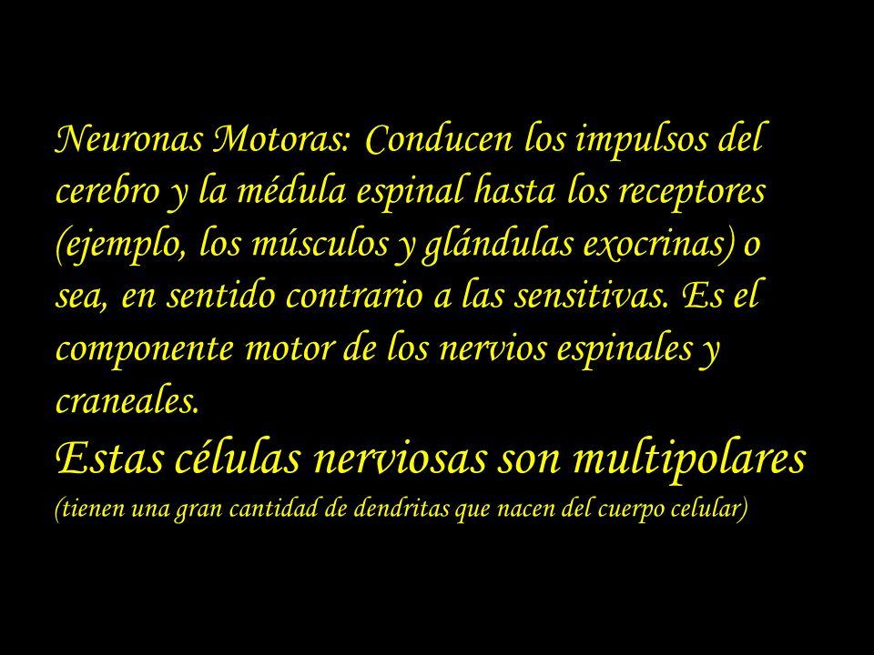 Neuronas Motoras: Conducen los impulsos del cerebro y la médula espinal hasta los receptores (ejemplo, los músculos y glándulas exocrinas) o sea, en s