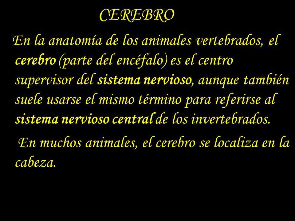 CEREBRO En la anatomía de los animales vertebrados, el cerebro (parte del encéfalo) es el centro supervisor del sistema nervioso, aunque también suele