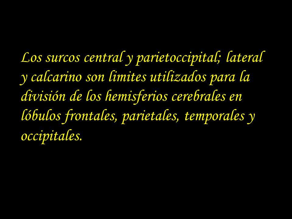 Los surcos central y parietoccipital; lateral y calcarino son limites utilizados para la división de los hemisferios cerebrales en lóbulos frontales,