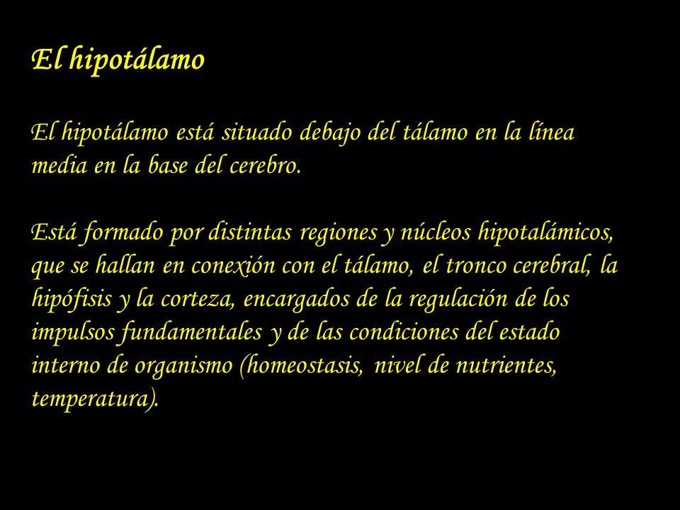 El hipotálamo El hipotálamo está situado debajo del tálamo en la línea media en la base del cerebro. Está formado por distintas regiones y núcleos hip