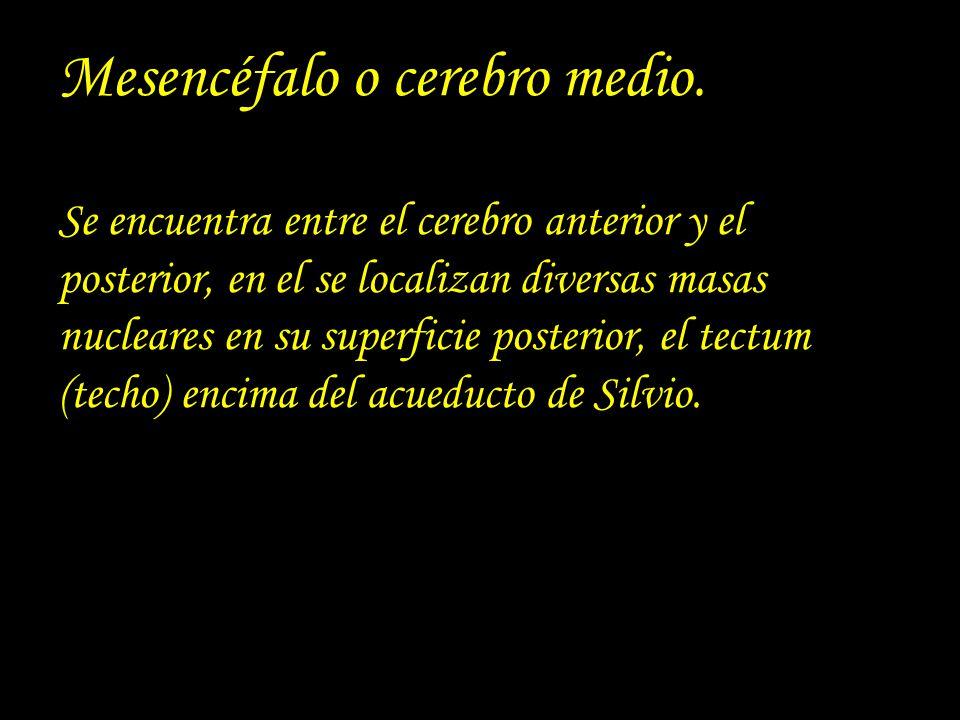 Mesencéfalo o cerebro medio. Se encuentra entre el cerebro anterior y el posterior, en el se localizan diversas masas nucleares en su superficie poste