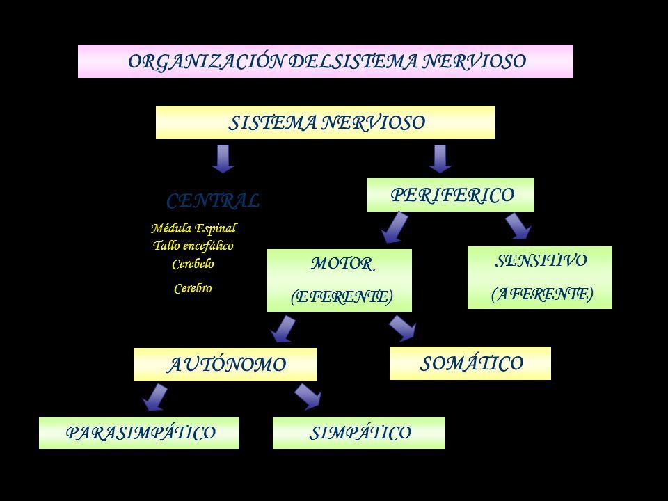 SISTEMA NERVIOSO CENTRAL PERIFERICO MOTOR (EFERENTE) SENSITIVO (AFERENTE) AUTÓNOMO SOMÁTICO ORGANIZACIÓN DELSISTEMA NERVIOSO PARASIMPÁTICOSIMPÁTICO Mé