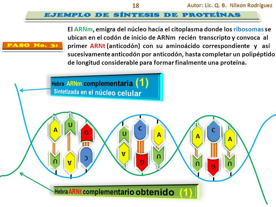 U U G G U U A A C C U U A A C C A A G G A A A A U U A A G G U U C C U U Autor: Lic. Q. B. Nilxon Rodríguez 18 El ARNm, emigra del núcleo hacia el cito