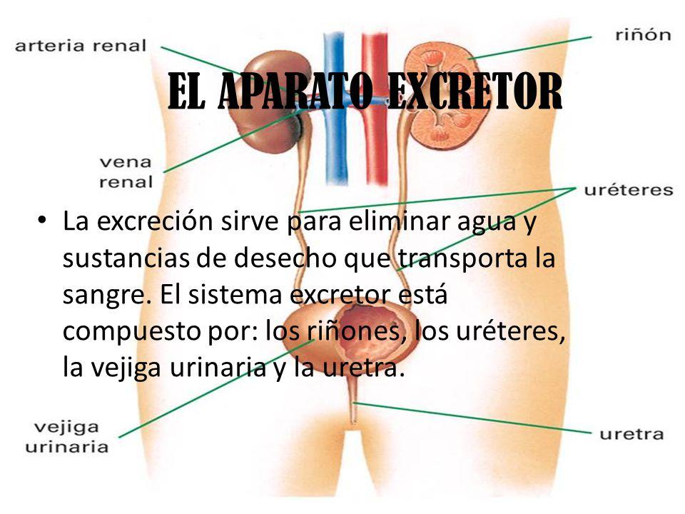 EL APARATO EXCRETOR La excreción sirve para eliminar agua y sustancias de desecho que transporta la sangre.