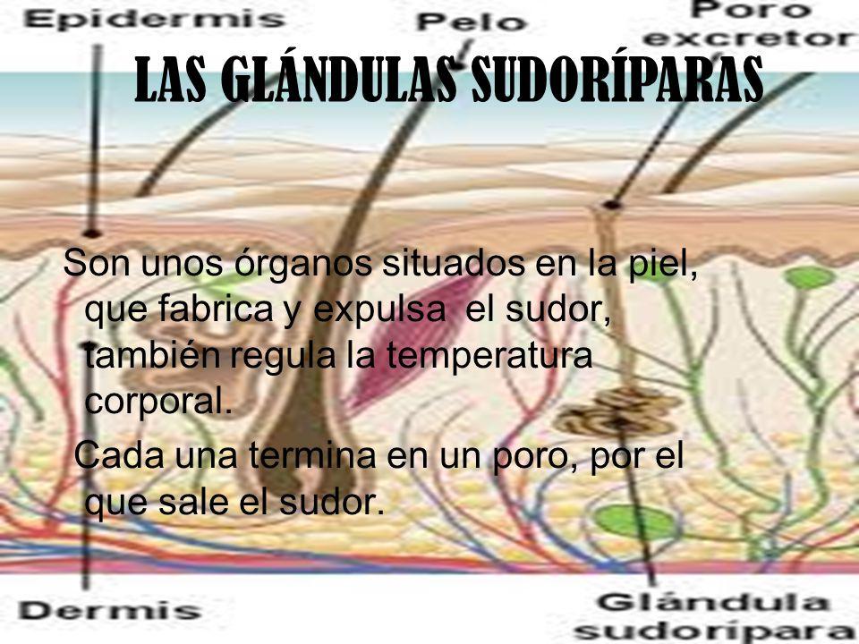 LAS GLÁNDULAS SUDORÍPARAS Son unos órganos situados en la piel, que fabrica y expulsa el sudor, también regula la temperatura corporal.