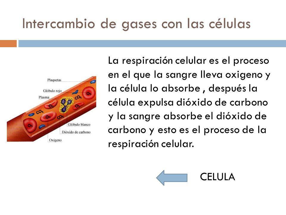 Intercambio de gases con las células La respiración celular es el proceso en el que la sangre lleva oxigeno y la célula lo absorbe, después la célula