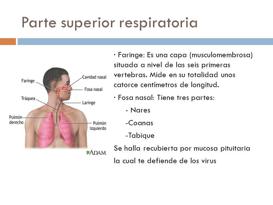 Parte superior respiratoria · Faringe: Es una capa (musculomembrosa) situada a nivel de las seis primeras vertebras. Mide en su totalidad unos catorce