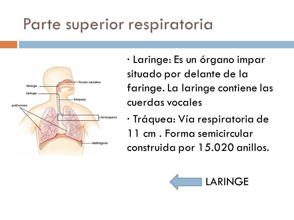 Parte superior respiratoria · Laringe: Es un órgano impar situado por delante de la faringe. La laringe contiene las cuerdas vocales · Tráquea: Vía re