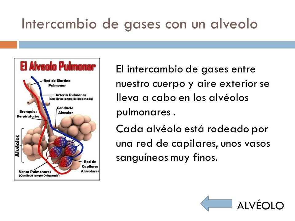 Intercambio de gases con un alvéolo El oxígeno pasa del aire que contienen los pulmones a la sangre atravesando la pared del alvéolo y la del capilar.