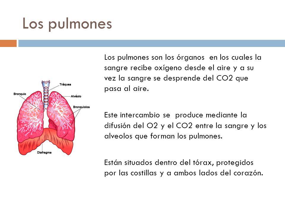 Los pulmones Los pulmones son los órganos en los cuales la sangre recibe oxígeno desde el aire y a su vez la sangre se desprende del CO2 que pasa al aire.