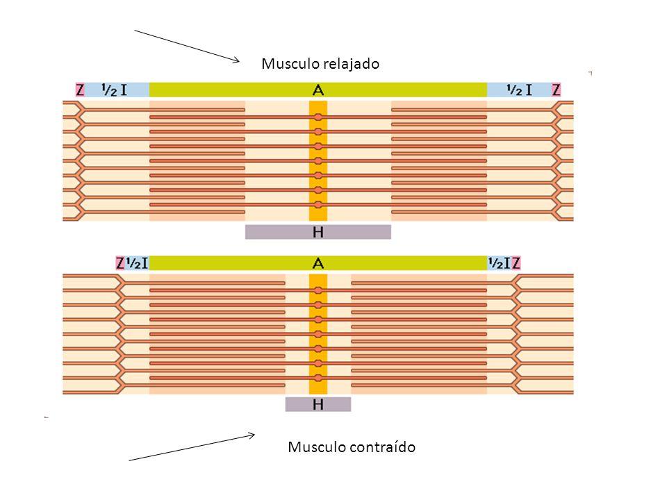 Musculo relajado Musculo contraído