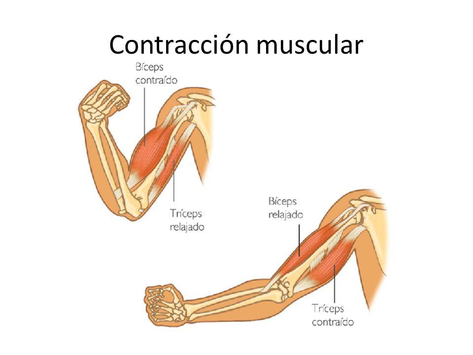 Contracción muscular Etapas de la contracción muscular: 1)Un potencial de acción estimula la fibra muscular 2)Este se transmite por el sarcolema hasta el túbulo T 3)Lo anterior estimula la liberación de iones de Ca+, aumentado su contracción dentro de las células 4)El Ca+ se une a una proteina llamada troponina C, la cual genera la unión de los filamentos de actina y miosina 5)Se genera tensión, debido a que se desliza una sobre la otra, generando un puente cruzado 6)De esta forma se acorta la longitud del sarcomero, lo que genera la concentración muscular.